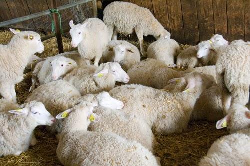 moutons de la bergerie de Rambouillet