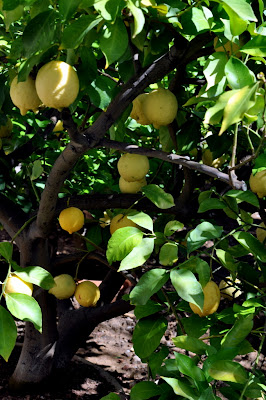 Lemon Tree in Castagnoli, Italy - Photo by Taste As You Go