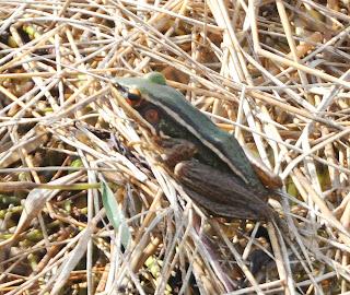 Green Paddy Frog (Hylarana erythraea)