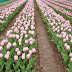 Pink Colour Tulips photos wallpapers