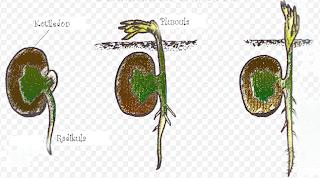perkecambahan hipogeal kacang kapri