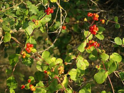 Exemplar de lligabosc (Lonicera implexa) amb els fruits ben madurs