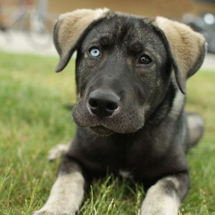 Ghost - German Shepherd mix