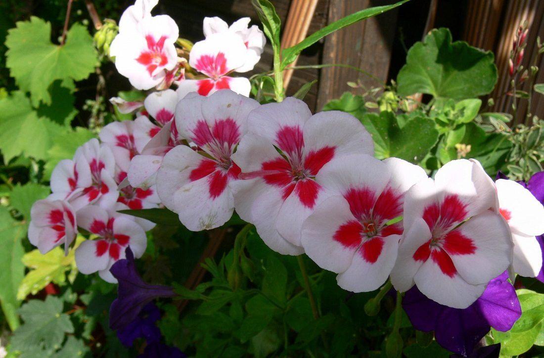 Ger nios perfume e flores verde em folha - Plantas de exterior resistentes todo el ano ...