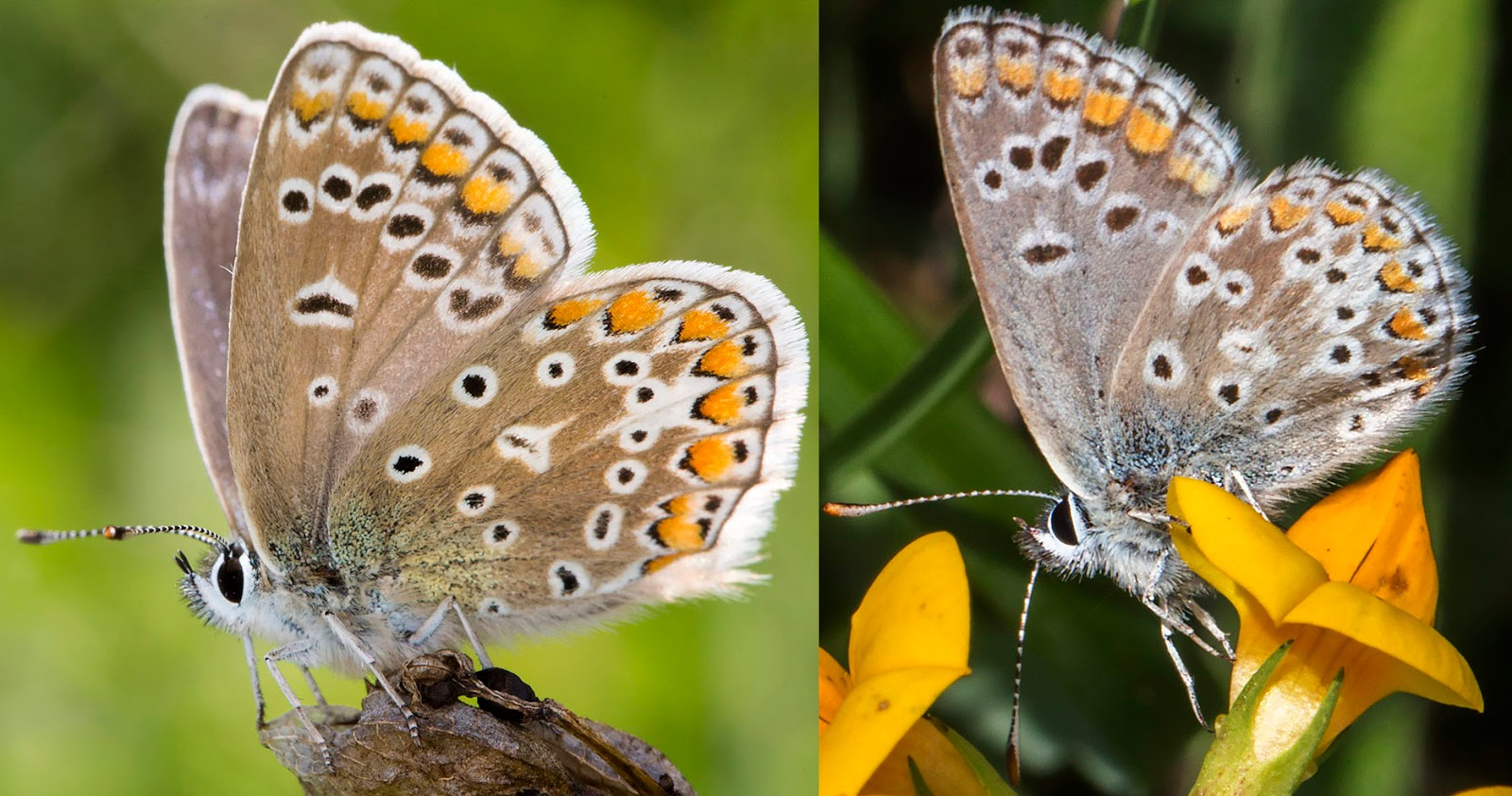 Common Blue butterfly, Polyommatus icarus, and Brown Argus, Aricia agestis.