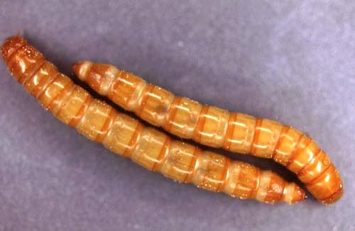 Mealworms Insects Morphology