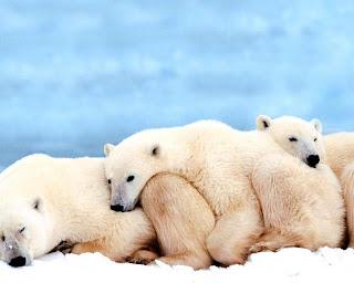Osos cariñosos blancos