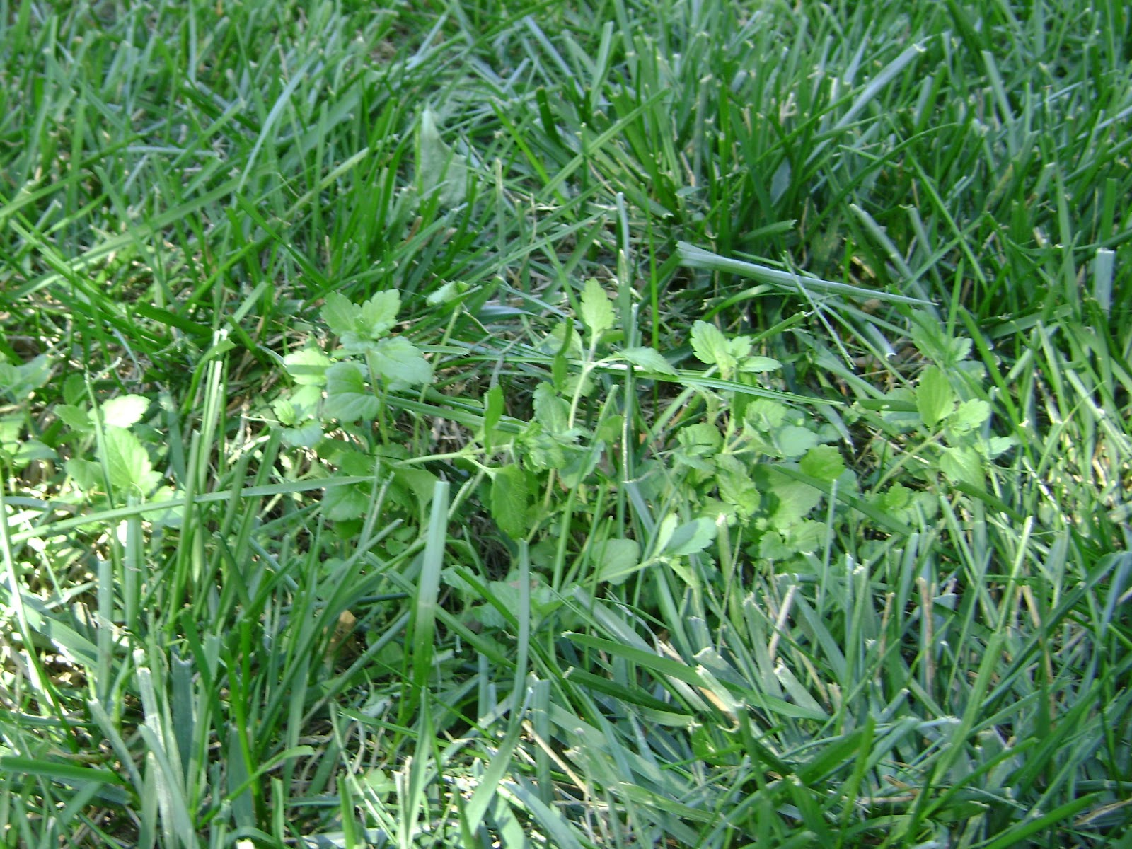 Riley county extension blog lawn weeds for Broadleaf