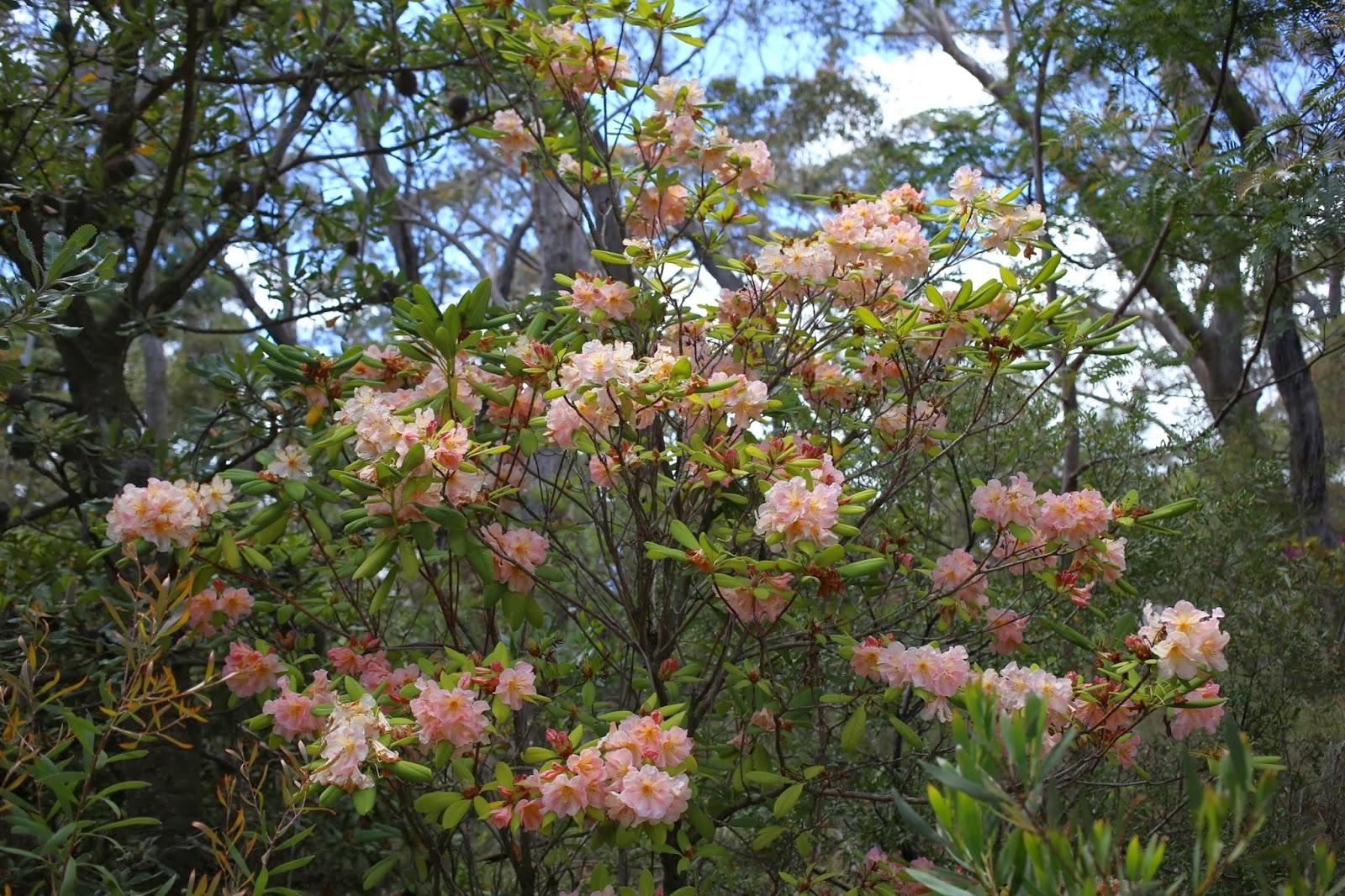 Jardine botanic rhododendron gardens blackheath for Jardin jardine
