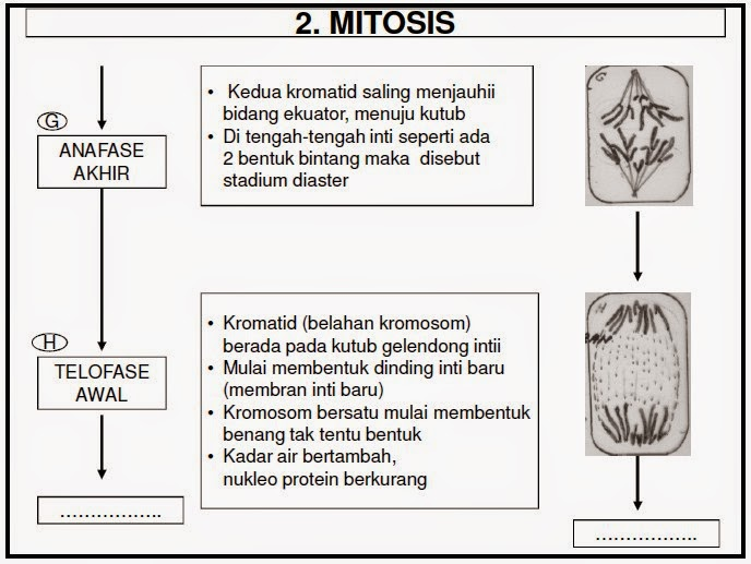 Penjelasan Lengkap Pembelahan Mitosis