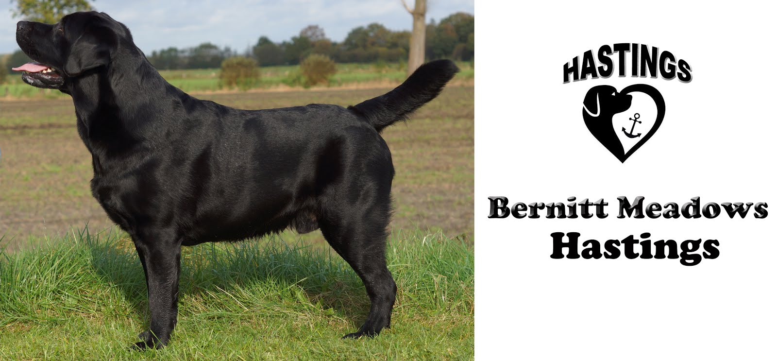 Bernitt Meadows Hastings - The dog with a blog! Mitglied im Labrador Club Deutschland LCD .
