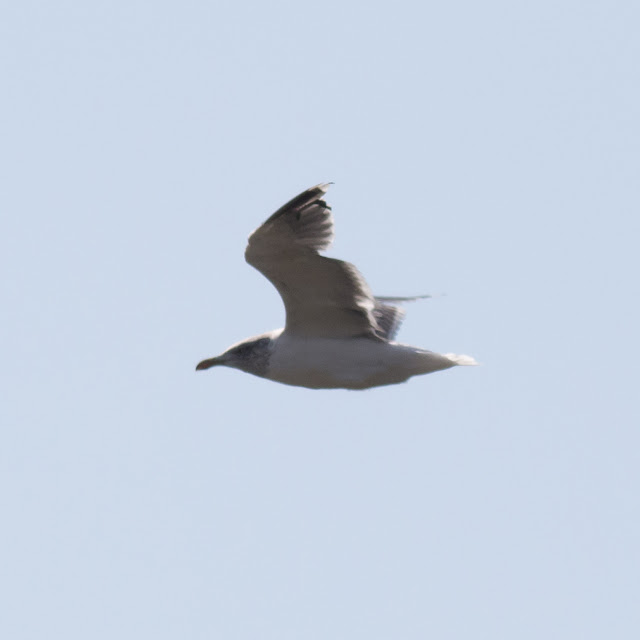 Unedited photo of hooded lesser black backed gull (highly cropped)