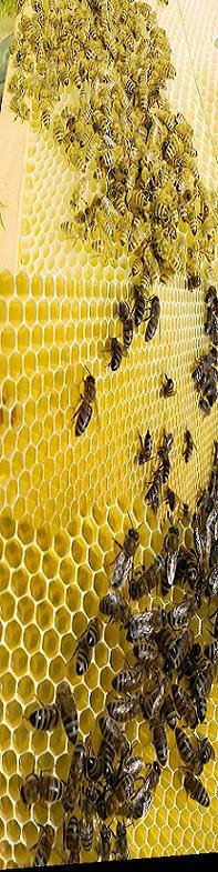 Karnİyol arısı