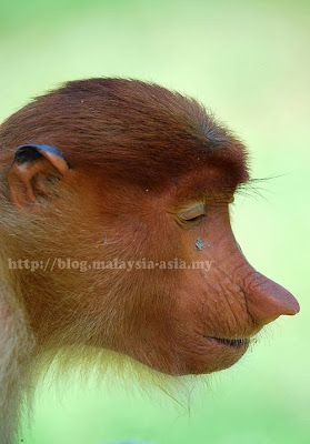 Proboscis Monkey Baby
