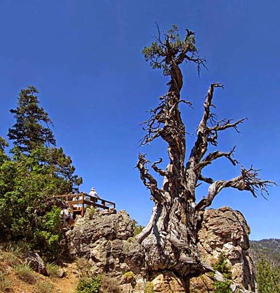 A 3000 year old juniper tree. These trees have seen droughts storms and human histroy unfold