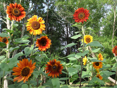 A Gaggle of Sunny and Warm Sunflower Blossoms