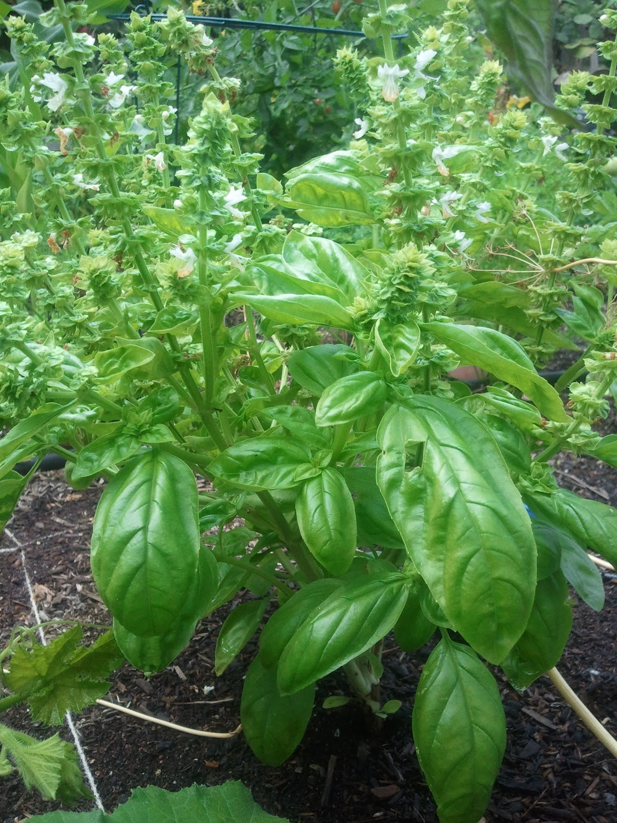 Photo: Single Sweet Basil Flowering Stalk