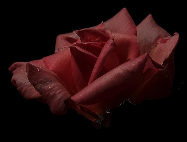 rose,pink,esentials