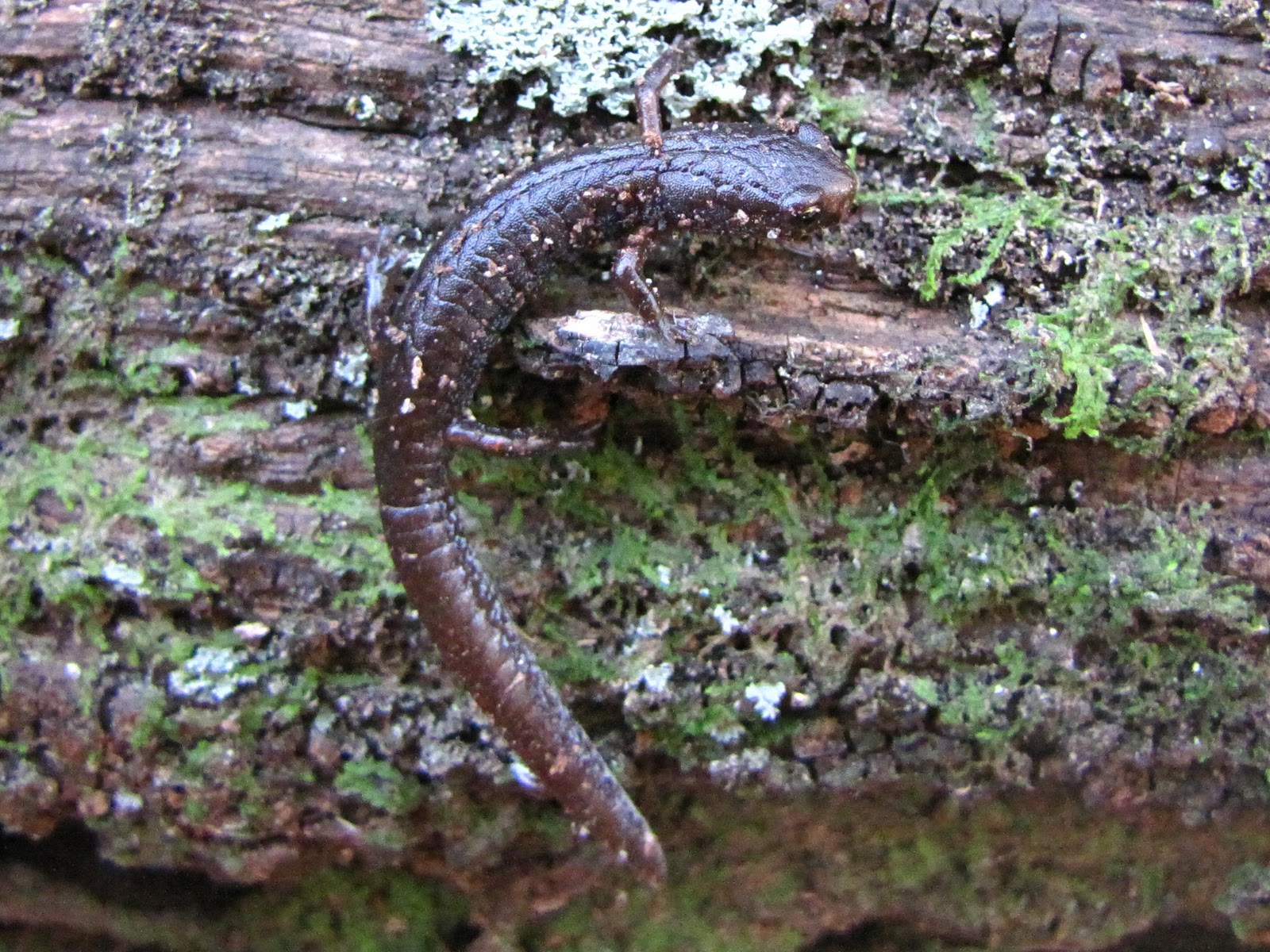 salamanders in indiana