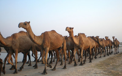 The types of camels in the world.