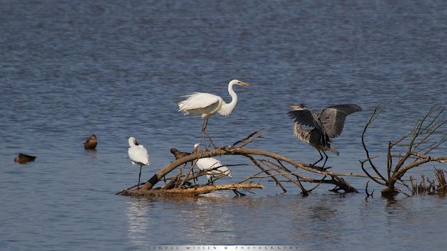 Zilverreiger vecht met Blauwe Reiger om beste plek - Blue Heron fights Great White Egret for best spot - Ardea cinerea & Ardea Alba