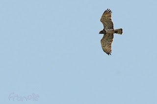Culebrera europea (Circaetus gallicus) Short-toed Snake Eagle