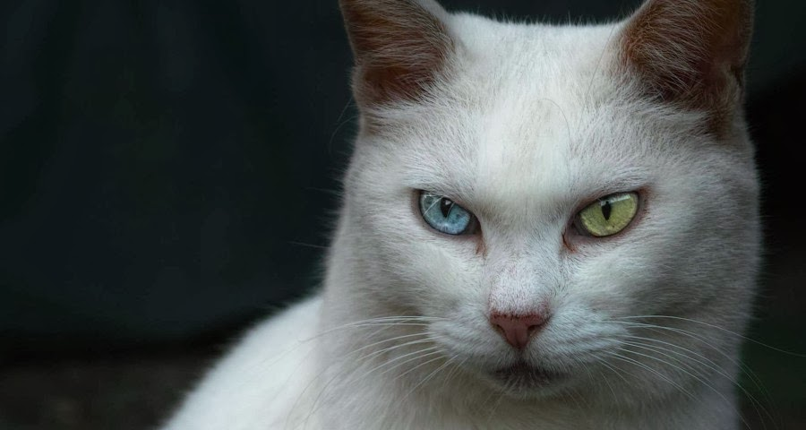Cutest Cats with Different Color Eyes