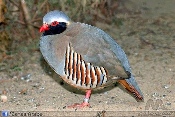 حجل فيلبي هو طائر من الطرائد تحت فصيلة التدرجية من رتبة الدجاجيات، تعيشي في جنوب غرب السعودية واليمن. ويعود تسميتها للمستكشف جون فيلبي