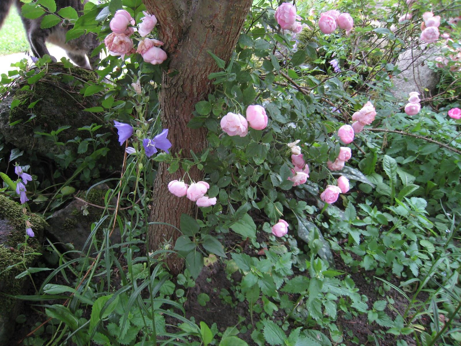 Mariehem i Skåne: Rosorna blommar på