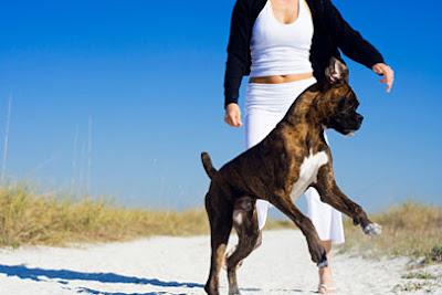 boxer-dog-training-routine
