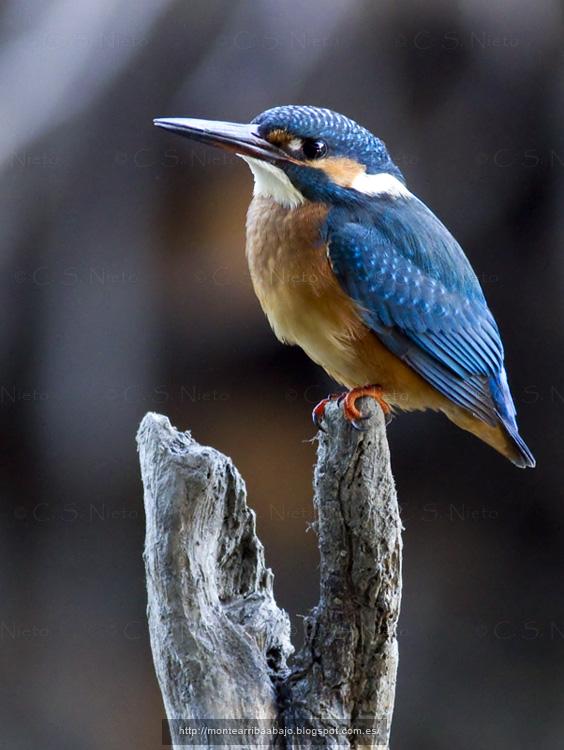 Martín pescador sobre rama en un afluente del Tietar