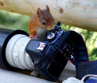 Red squirrel interested in a camera