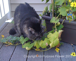 My cat eating cucumber plants
