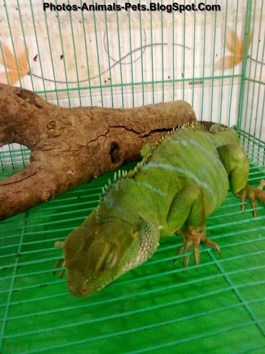 Pet chinese water dragon Photos-Animals-Pets.BlogSpot.com