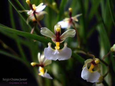 Micro-orquídea Ornithophora radicans