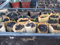 Parsnip germination has been a success with the second sowing.