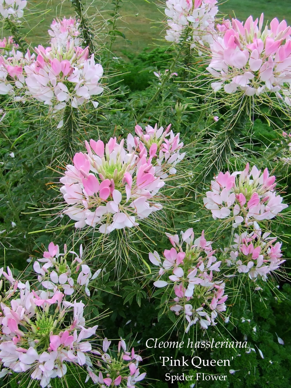 Cleome spider flower spider legs grandfather 39 s whiskers for Spider plant cats