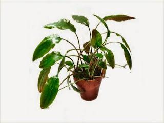 gambar-Cryptocoryne-Cordata-tanaman-rosette-aquascape