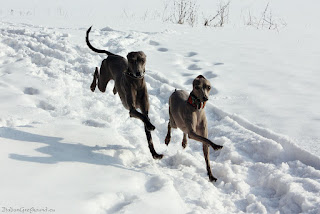 Italian Greyhounds winter
