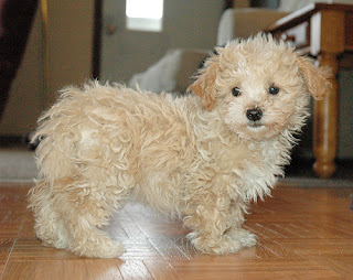 Cute Maltipoo puppies