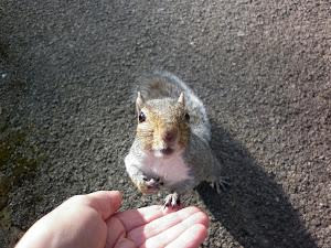 angielska wiewiórka dopomina się orzeszków
