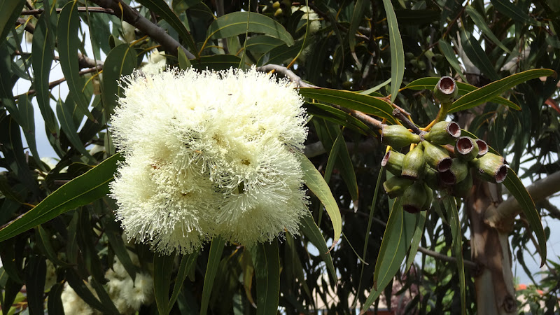 Map melbourne street trees 17 it is seen in melbourne streets and gardens where it makes for an impressive flowering gum specimen this post is part of the floral friday fotos meme mightylinksfo