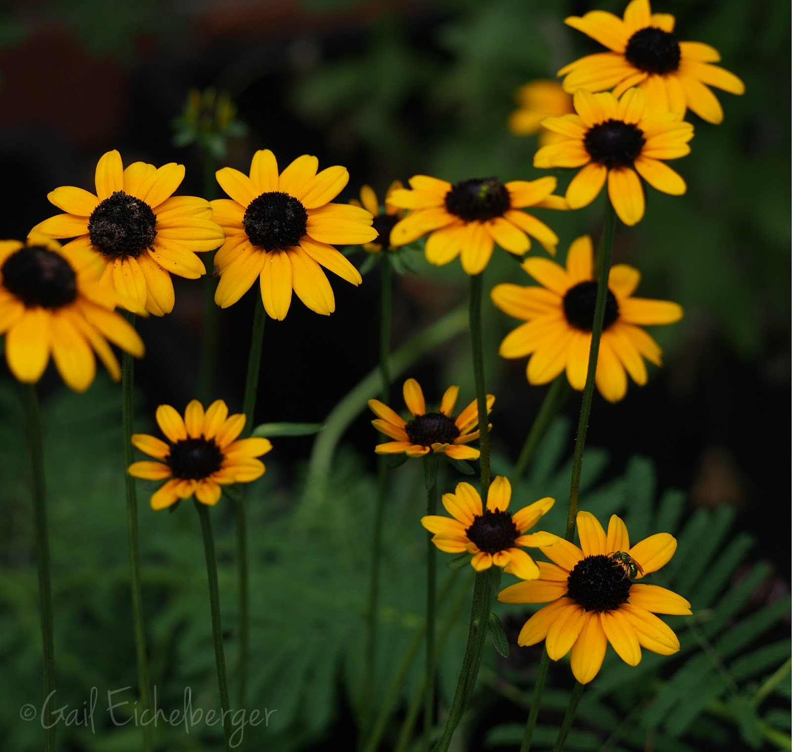 Flowers that bloom in the winter in missouri - Rudbeckia Fulgid Var Fulgida Might Be My Favorite Of The Susans This Year They Bloom Late And Flower For A Very Long Time The Long Stemmed Beauties Have
