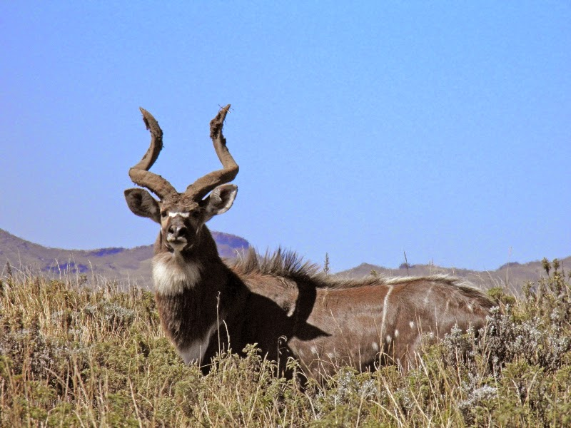 Mountain Nyala in the Bale Moutnains