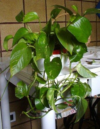 Il duca arredare con le piante - Piante rampicanti da interno ...
