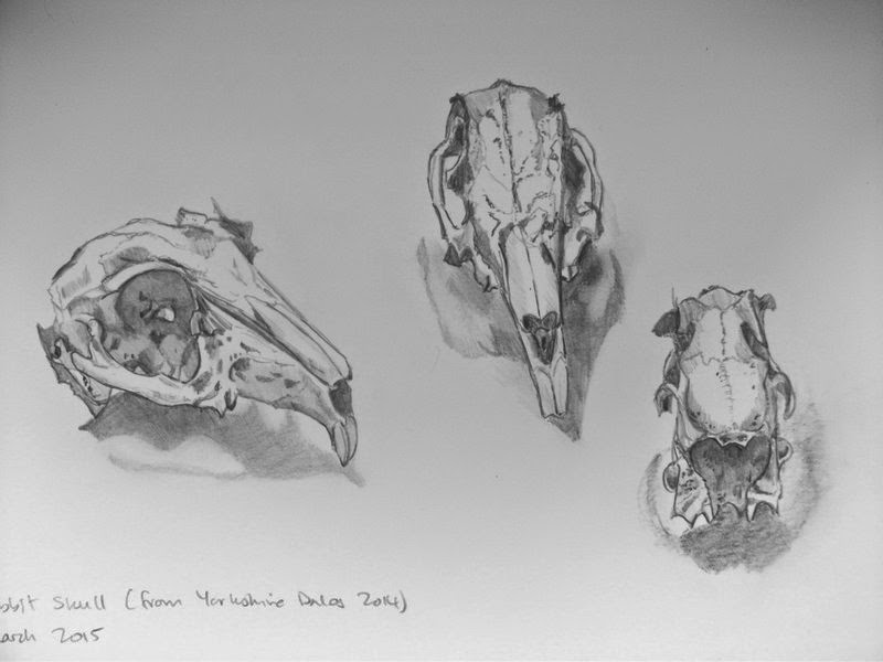 Rabbit skull studies in pencil