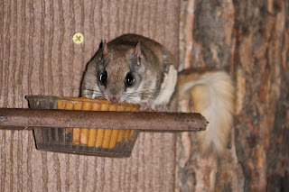 Flying squirrel eating peanut butter from a feeder.