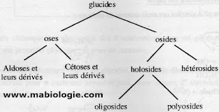 Classification des glucides