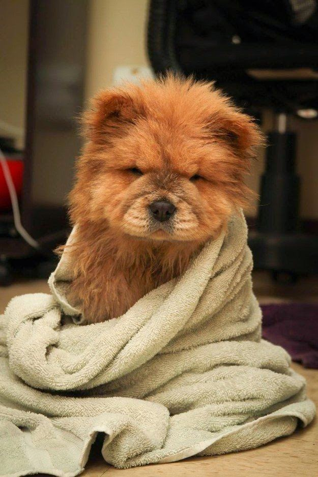 See more Chow Chow Puppies http://cutepuppyanddog.blogspot.com/