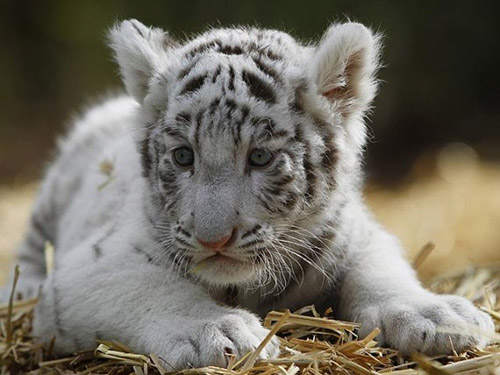 white tiger holding baby - photo #10